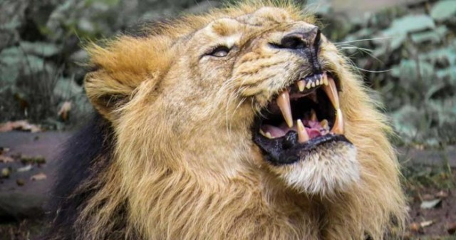 lion-NDwRH3iZmy.jpg