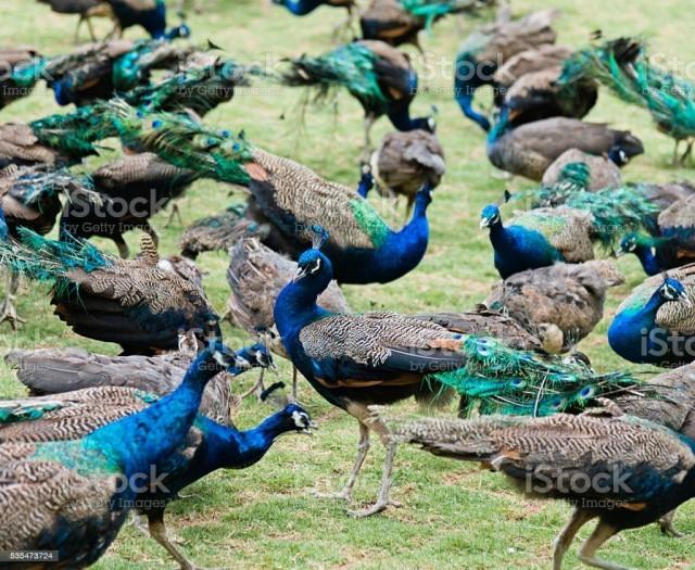 peacock-2R16sN3lzQ.jpeg