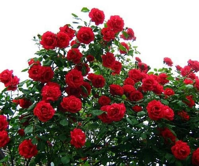 rose-IvxJy8T3n6.jpg